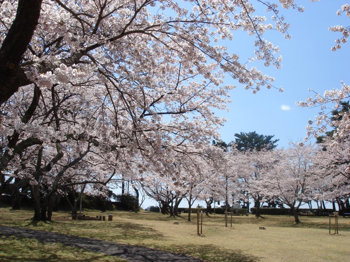 天神岬の桜