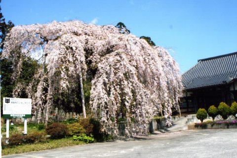 清隆寺のシダレザクラ